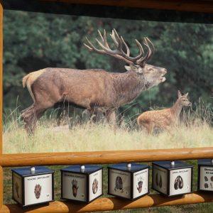 Drewniana tablica edukacyjna z kolorowym zdjęciem jelenia, poniżej kostki z rysunkami tropów zwierząt